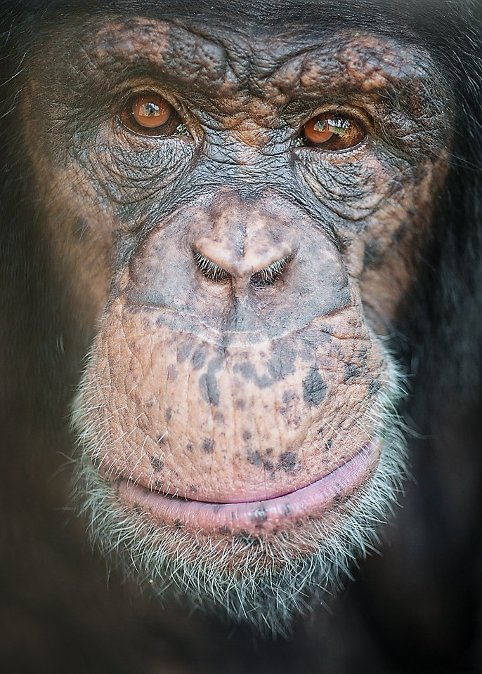 A close-up photograph of chimpanzee Leo at Project Chimps. Credit: Crystal Alba